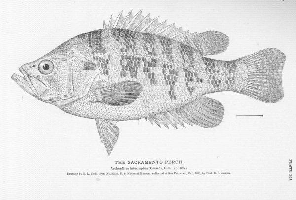 Mammoth Lakes Fish Identification Guide    Sacramento Perch