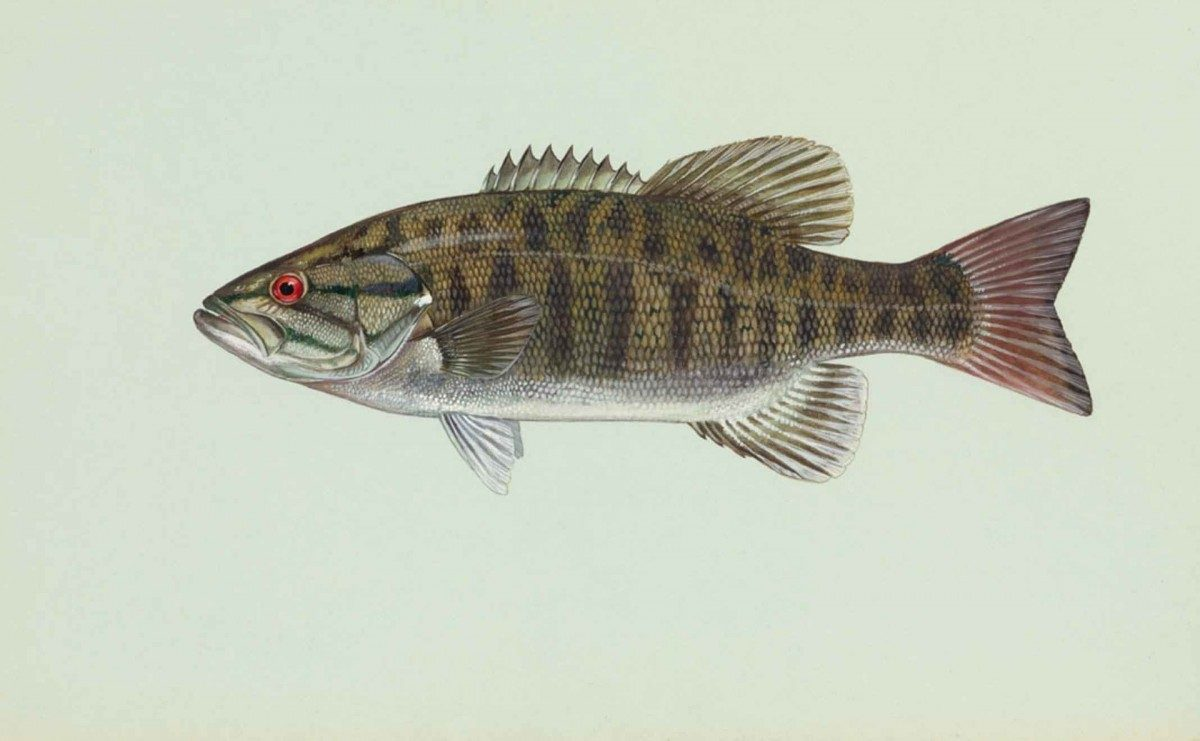 Mammoth Lakes Fish Identification Guide ||  Smallmouth Bass